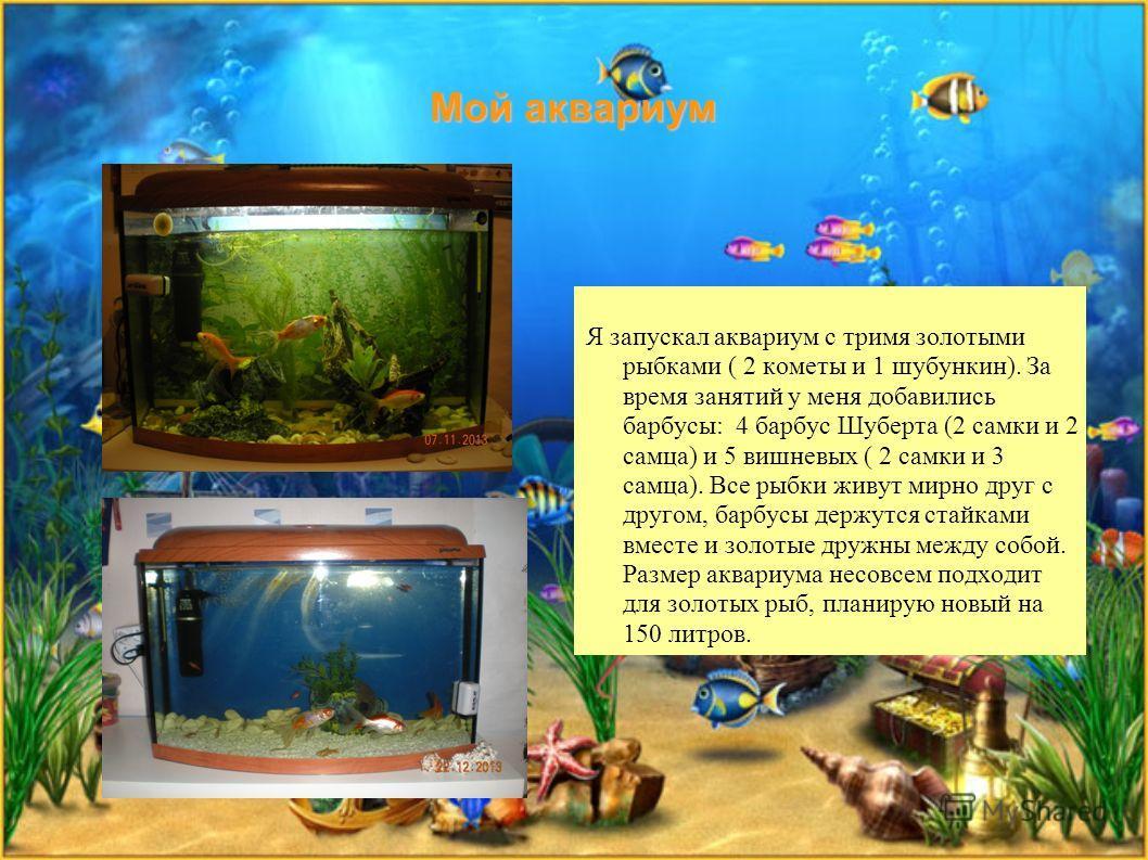 Мой аквариум Я запускал аквариум с тремя золотыми рыбками ( 2 кометы и 1 шубункин). За время занятий у меня добавились барбусы: 4 барбус Шуберта (2 самки и 2 самца) и 5 вишневых ( 2 самки и 3 самца). Все рыбки живут мирно друг с другом, барбусы держа