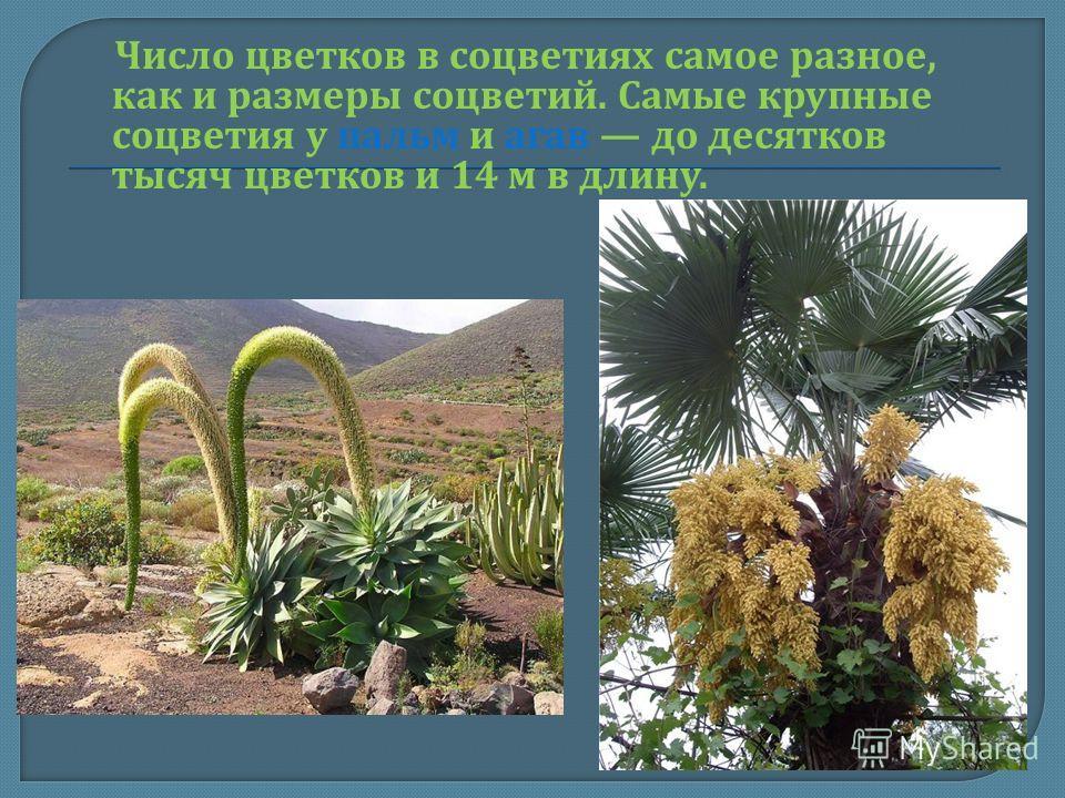 Число цветков в соцветиях самое разное, как и размеры соцветий. Самые крупные соцветия у пальм и агав до десятков тысяч цветков и 14 м в длину.