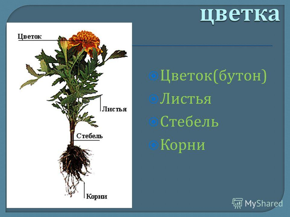 Цветок ( бутон ) Листья Стебель Корни