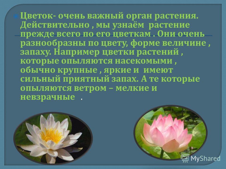 Цветок - очень важный орган растения. Действительно, мы узнаём растение прежде всего по его цветкам. Они очень разнообразны по цвету, форме величине, запаху. Например цветки растений, которые опыляются насекомыми, обычно крупные, яркие и имеют сильны
