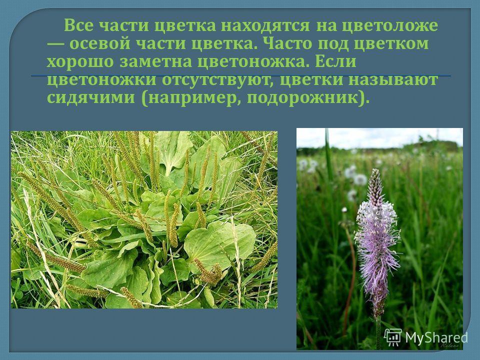Все части цветка находятся на цветоложе осевой части цветка. Часто под цветком хорошо заметна цветоножка. Если цветоножки отсутствуют, цветки называют сидячими ( например, подорожник ).