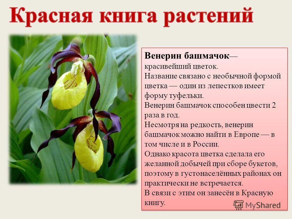 Венерин башмачок красивейший цветок. Название связано с необычной формой цветка один из лепестков имеет форму туфельки. Венерин башмачок способен цвести 2 раза в год. Несмотря на редкость, венерин башмачок можно найти в Европе в том числе и в России.