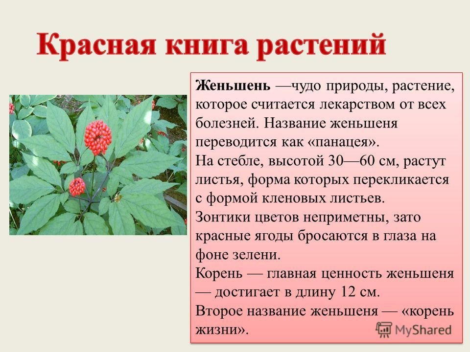 Женьшень чудо природы, растение, которое считается лекарством от всех болезней. Название женьшеня переводится как «панацея». На стебле, высотой 3060 см, растут листья, форма которых перекликается с формой кленовых листьев. Зонтики цветов неприметны,