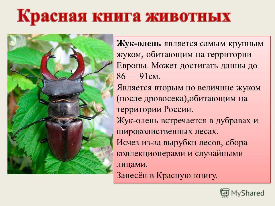 Жук-олень является самым крупным жуком, обитающим на территории Европы. Может достигать длины до 86 91 см. Является вторым по величине жуком (после дровосека),обитающим на территории России. Жук-олень встречается в дубравах и широколиственных лесах.