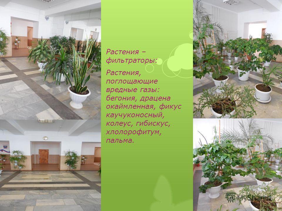 Растения – фильтраторы: Растения, поглощающие вредные газы: бегония, драцена окаймленная, фикус каучуконосный, колеус, гибискус, хлолорофитум, пальма.