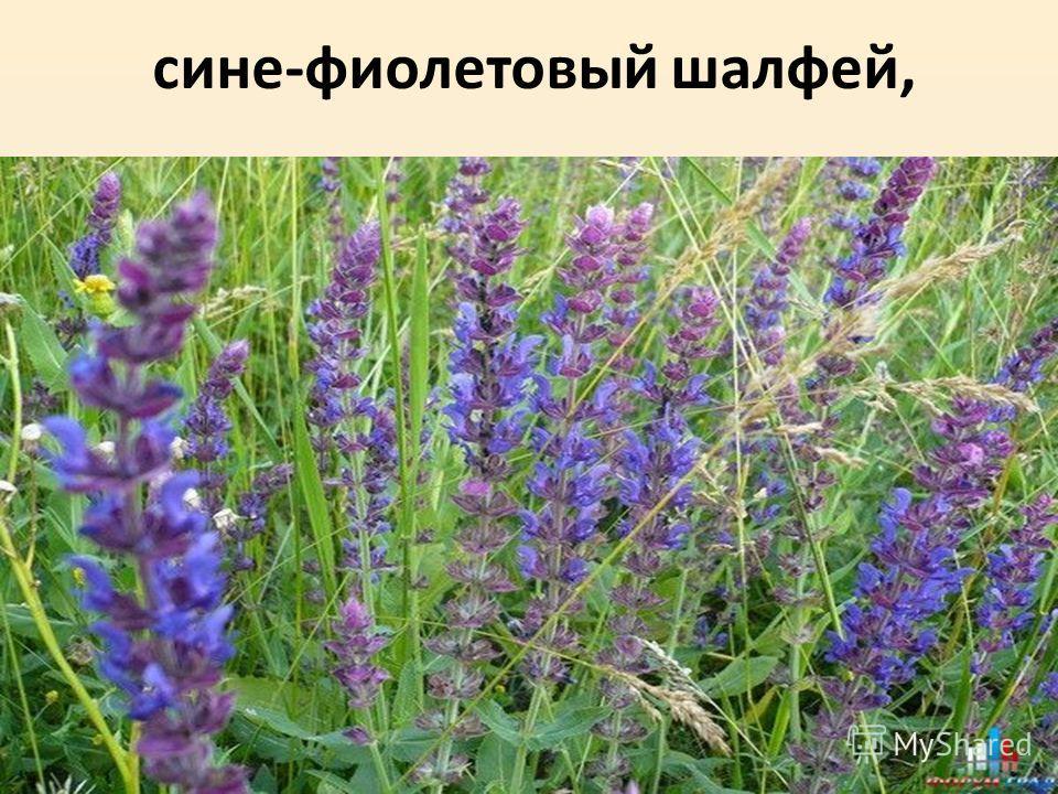 сине-фиолетовый шалфей,