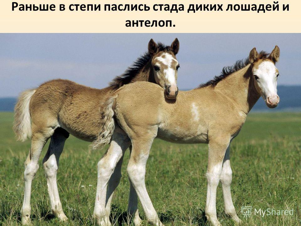 Раньше в степи паслись стада диких лошадей и антилоп.