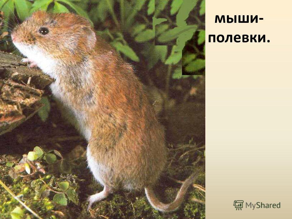 мыши- полевки.