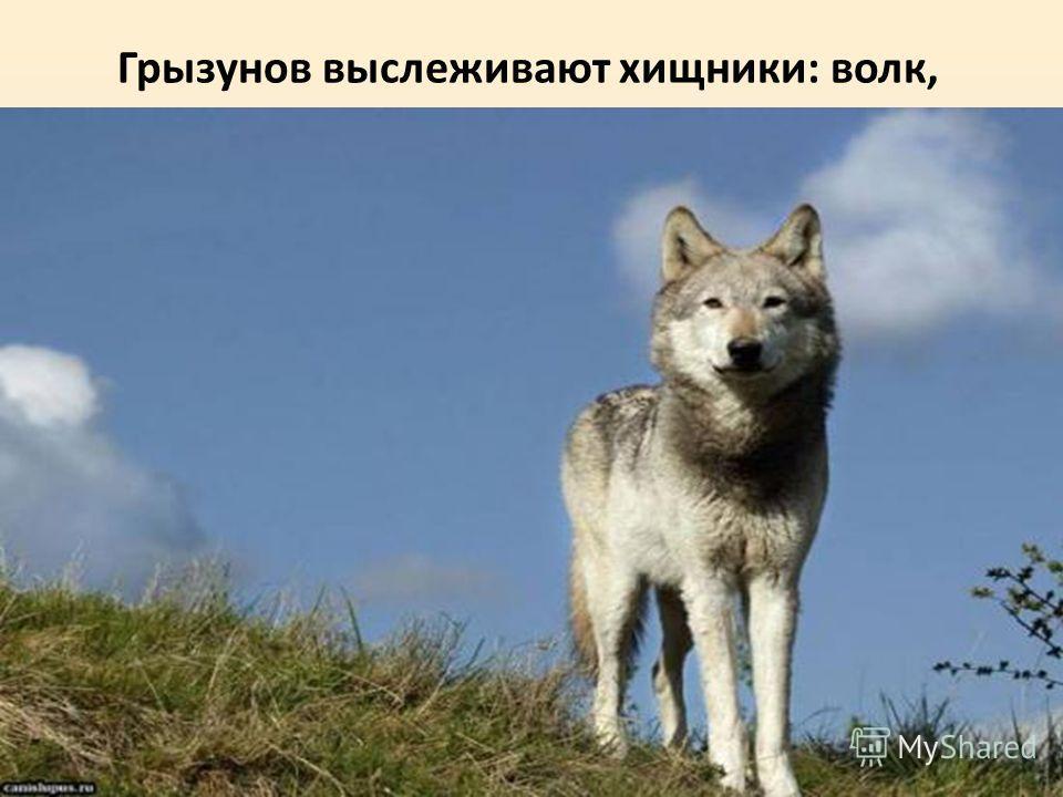 Грызунов выслеживают хищники: волк,