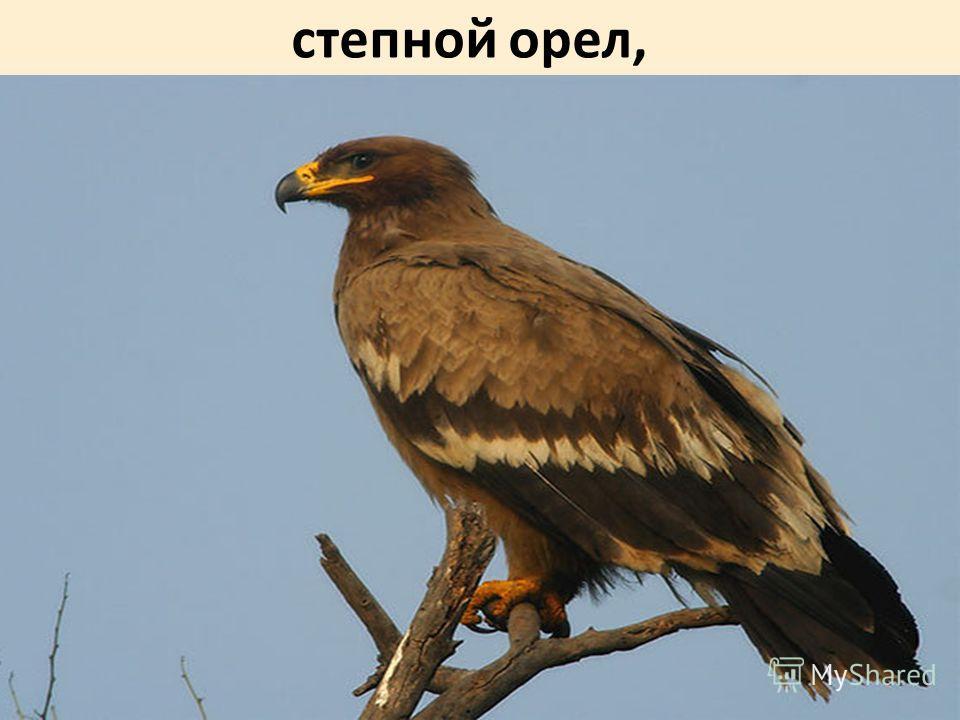 степной орел,