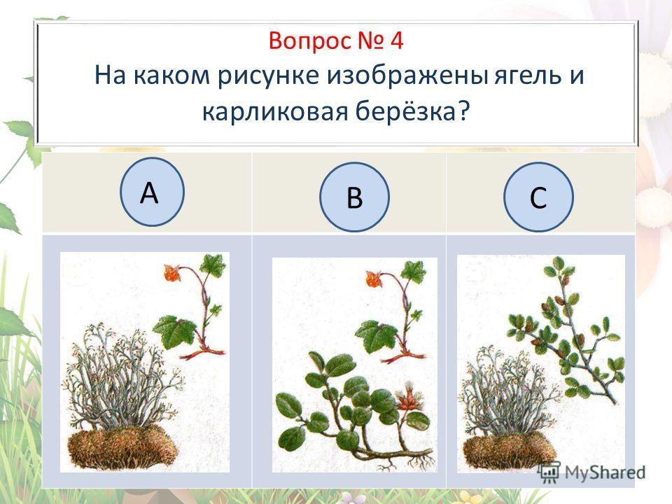 Вопрос 4 На каком рисунке изображены ягель и карликовая берёзка? А BC
