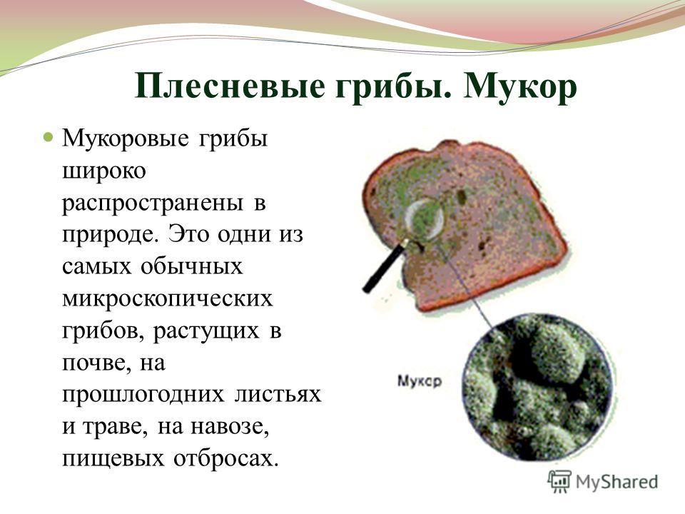 Плесневые грибы. Мукор Мукоровые грибы широко распространены в природе. Это одни из самых обычных микроскопических грибов, растущих в почве, на прошлогодних листьях и траве, на навозе, пищевых отбросах.