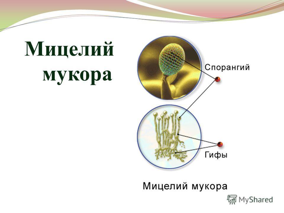 Мицелий мукора