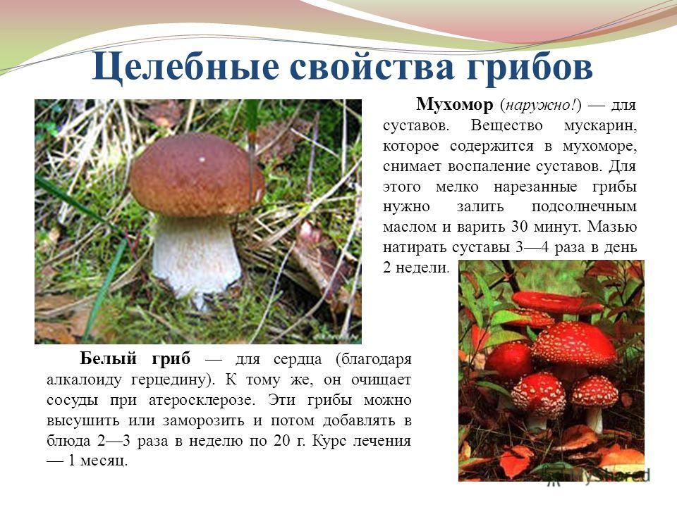 Целебные свойства грибов Белый гриб для сердца (благодаря алкалоиду герцедину). К тому же, он очищает сосуды при атеросклерозе. Эти грибы можно высушить или заморозить и потом добавлять в блюда 23 раза в неделю по 20 г. Курс лечения 1 месяц. Мухомор