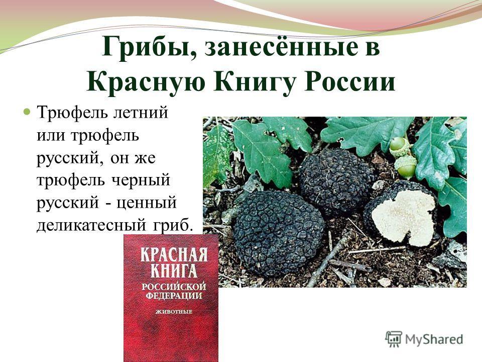 Грибы, занесённые в Красную Книгу России Трюфель летний или трюфель русский, он же трюфель черный русский - ценный деликатесный гриб.