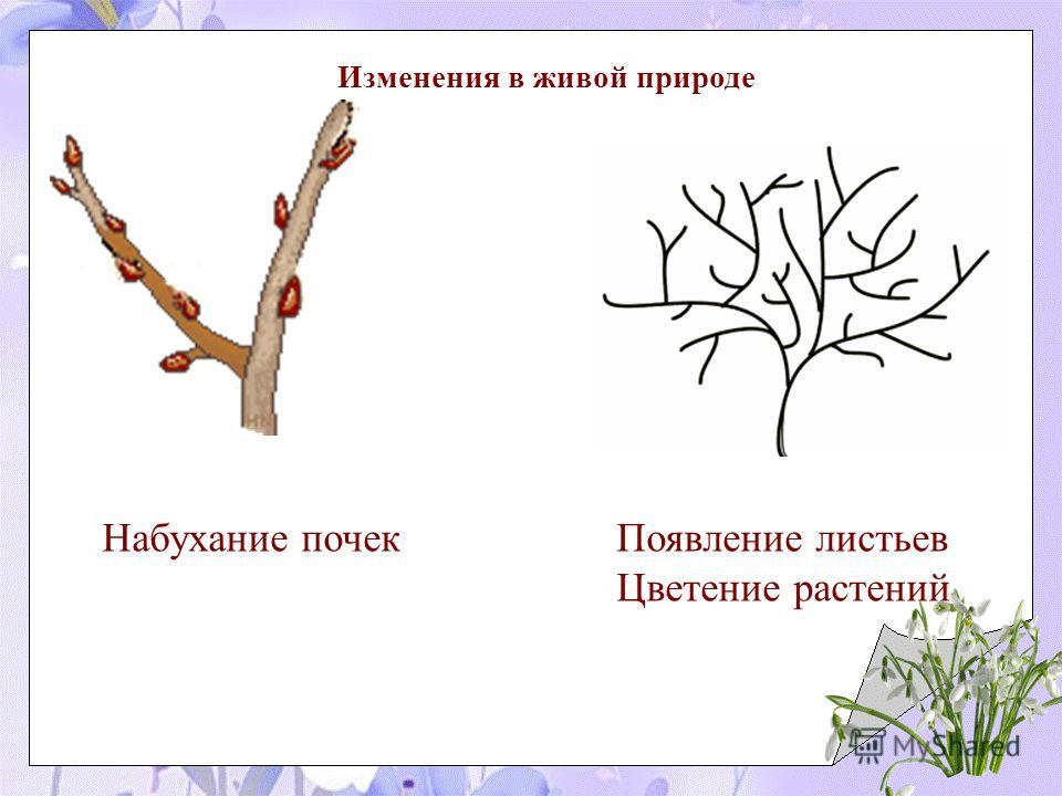 Изменения в живой природе Набухание почек Появление листьев Цветение растений