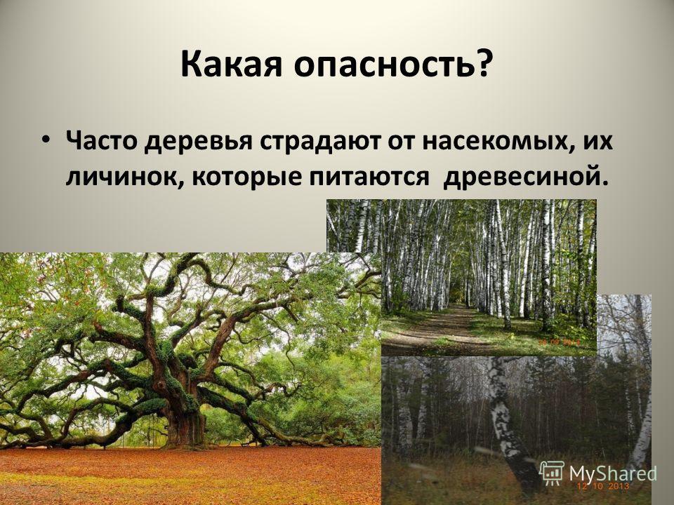 Какая опасность? Часто деревья страдают от насекомых, их личинок, которые питаются древесиной.