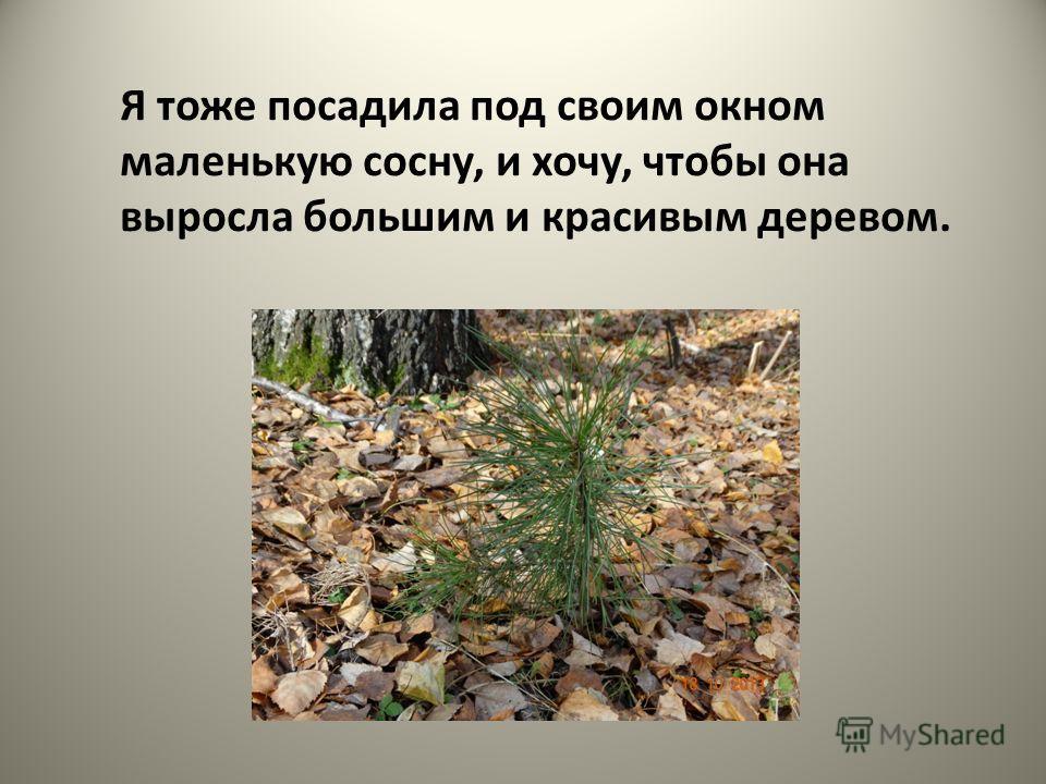 Я тоже посадила под своим окном маленькую сосну, и хочу, чтобы она выросла большим и красивым деревом.