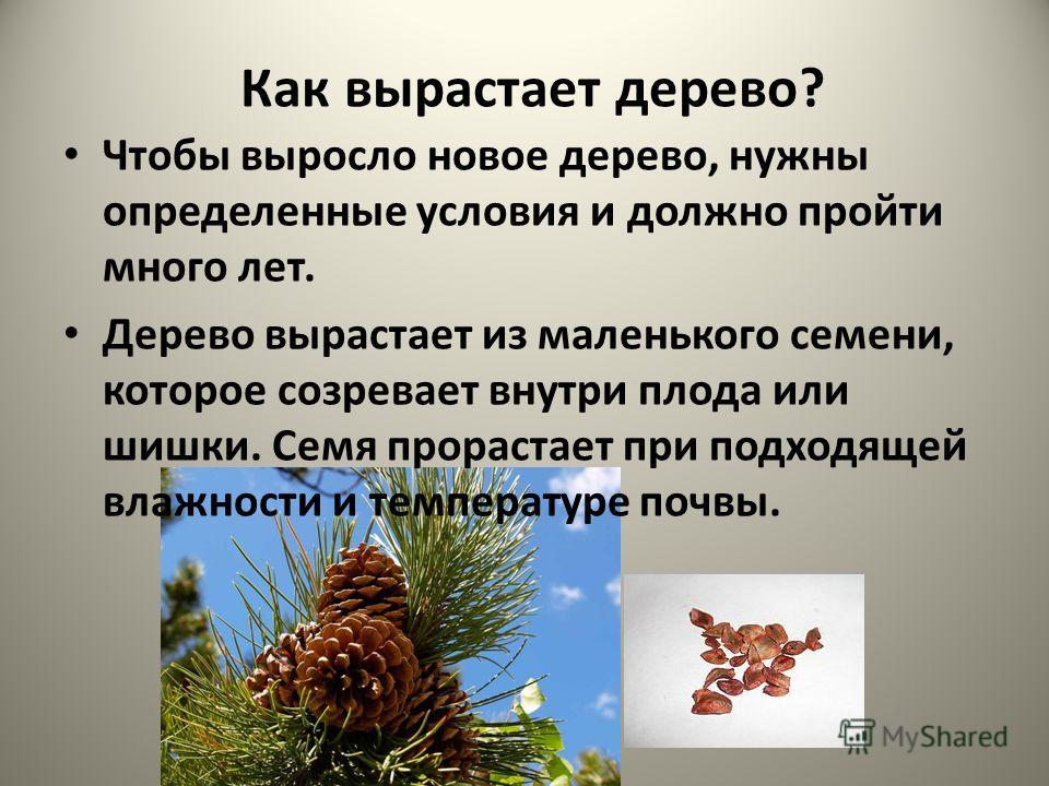 Как вырастает дерево? Чтобы выросло новое дерево, нужны определенные условия и должно пройти много лет. Дерево вырастает из маленького семени, которое созревает внутри плода или шишки. Семя прорастает при подходящей влажности и температуре почвы.