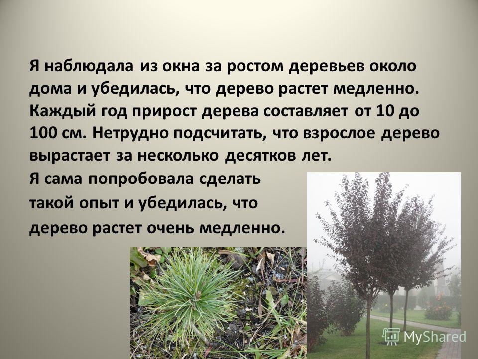 Я наблюдала из окна за ростом деревьев около дома и убедилась, что дерево растет медленно. Каждый год прирост дерева составляет от 10 до 100 см. Нетрудно подсчитать, что взрослое дерево вырастает за несколько десятков лет. Я сама попробовала сделать