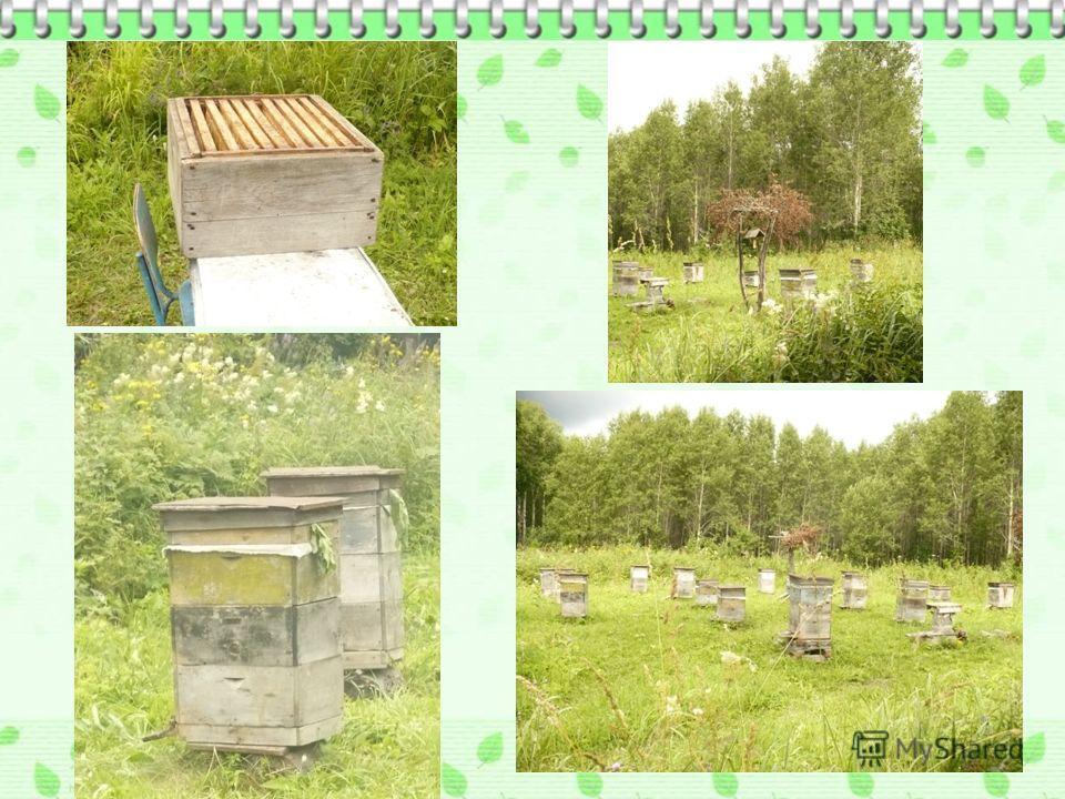 МЕД - пчелиный, сладкое сиропообразное вещество, вырабатываемое медоносной пчелой из нектара растений. Корм для пчел, ценный продукт питания человека. В цветочном меде 13-20% воды, 75-80% углеводов (глюкоза, фруктоза и др.), органические кислоты, фер