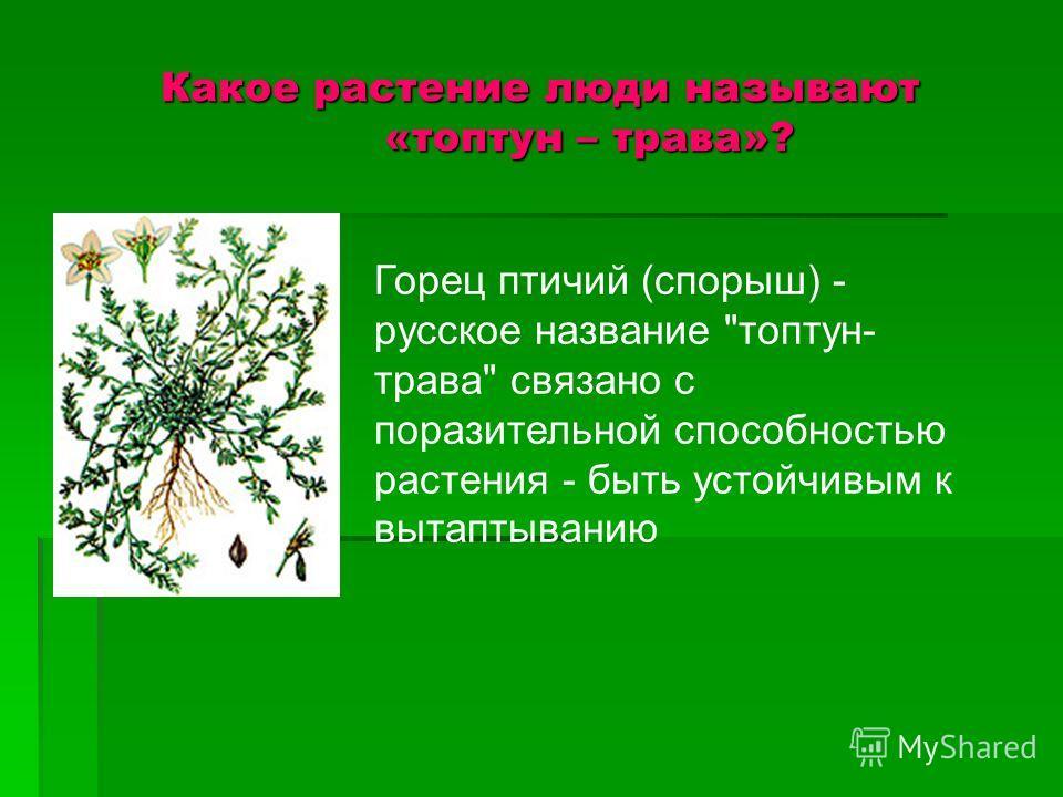 Какое растение люди называют «топтун – трава»? Горец птичий (спорыш) - русское название топтун- трава связано с поразительной способностью растения - быть устойчивым к вытаптыванию