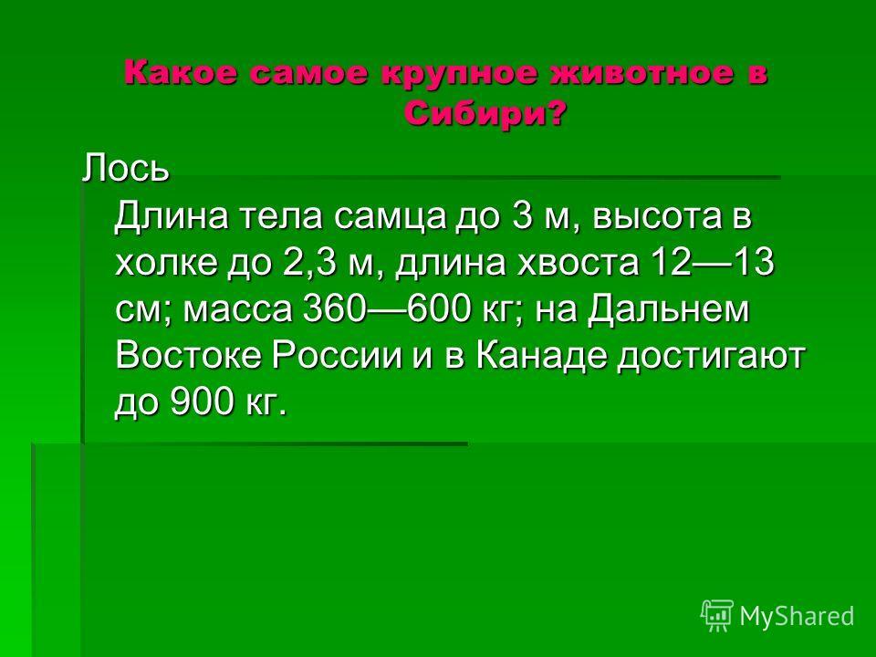 Какое самое крупное животное в Сибири? Лось Длина тела самца до 3 м, высота в холке до 2,3 м, длина хвоста 1213 см; масса 360600 кг; на Дальнем Востоке России и в Канаде достигают до 900 кг.