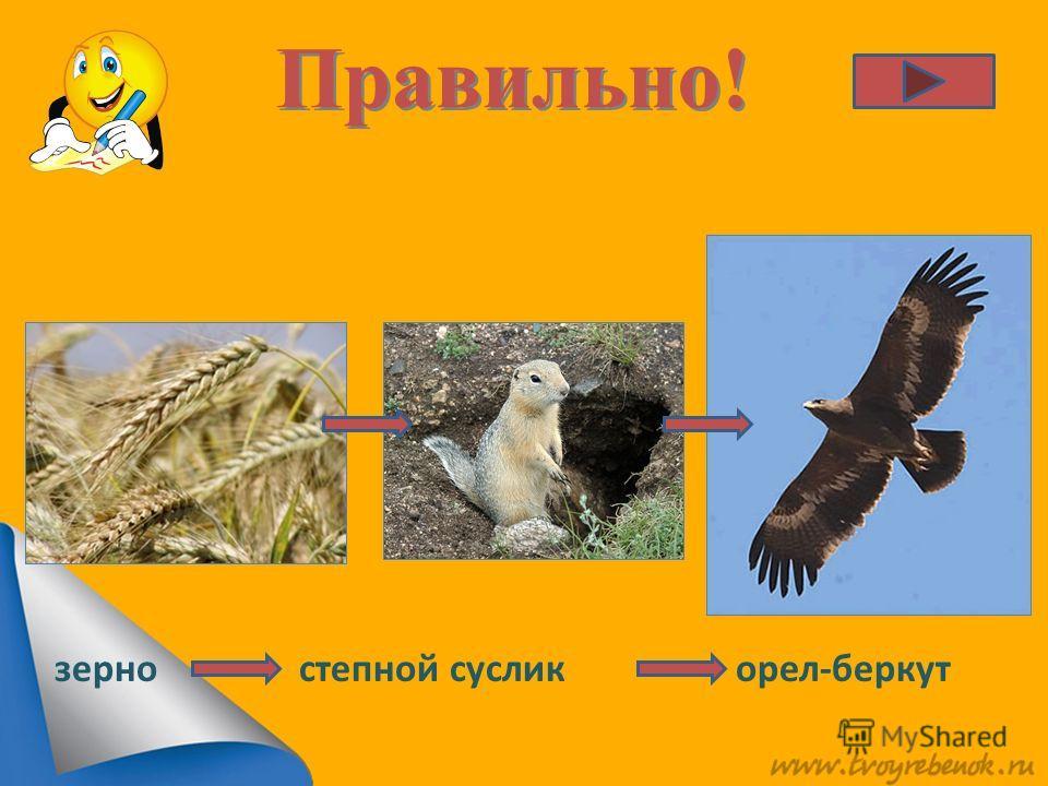 Правильно! степной суслик орел-беркут зерно