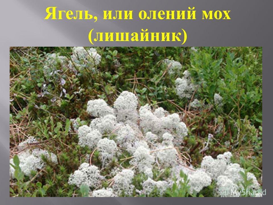 Ягель, или олений мох (лишайник)