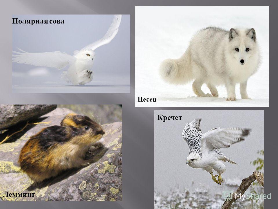 Песец Лемминг Полярная сова Кречет