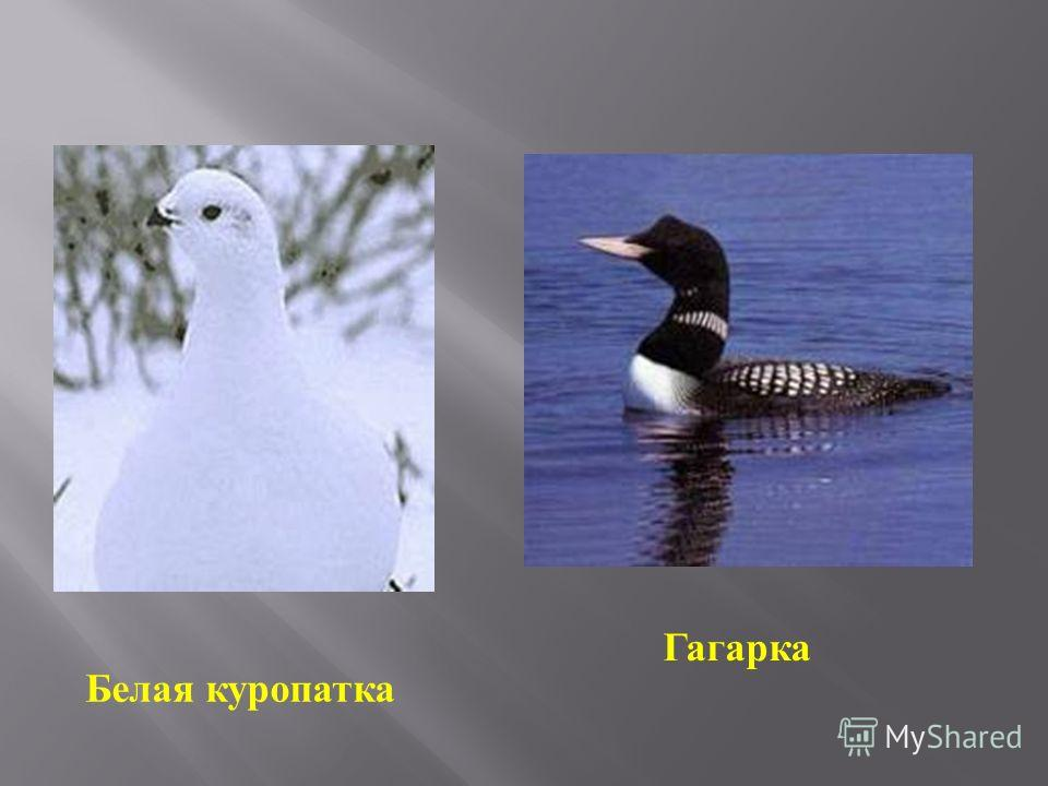 Гагарка Белая куропатка