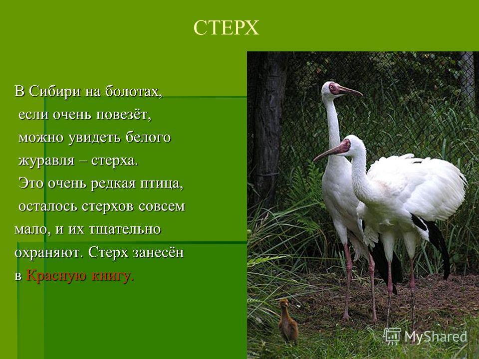 В Сибири на болотах, если очень повезёт, если очень повезёт, можно увидеть белого можно увидеть белого журавля – стерха. журавля – стерха. Это очень редкая птица, Это очень редкая птица, осталось стерхов совсем осталось стерхов совсем мало, и их тщат