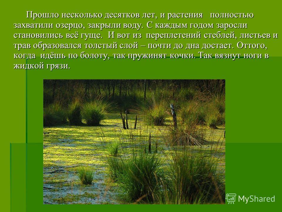 Прошло несколько десятков лет, и растения полностью захватили озерцо, закрыли воду. С каждым годом заросли становились всё гуще. И вот из переплетений стеблей, листьев и трав образовался толстый слой – почти до дна достает. Оттого, когда идёшь по бол