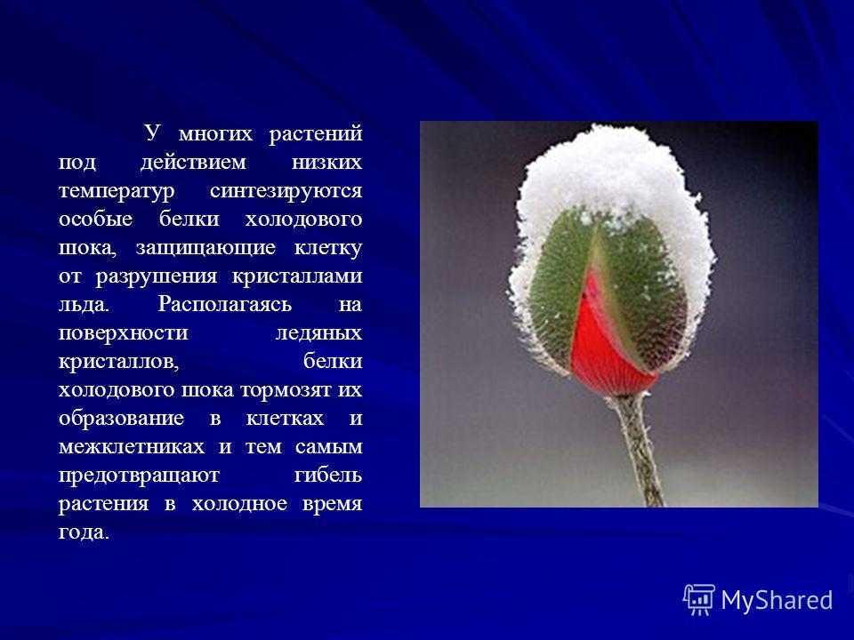 У многих растений под действием низких температур синтезируются особые белки холодового шока, защищающие клетку от разрушения кристаллами льда. Располагаясь на поверхности ледяных кристаллов, белки холодового шока тормозят их образование в клетках и