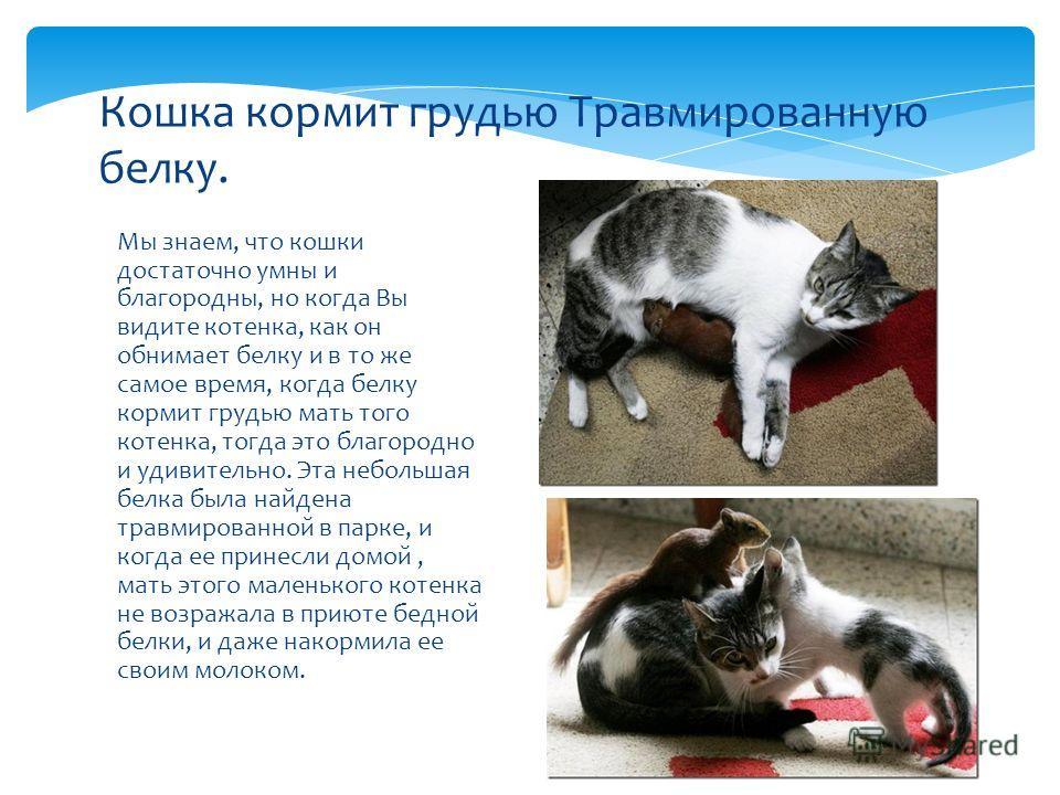 Мы знаем, что кошки достаточно умны и благородны, но когда Вы видите котенка, как он обнимает белку и в то же самое время, когда белку кормит грудью мать того котенка, тогда это благородно и удивительно. Эта небольшая белка была найдена травмированно