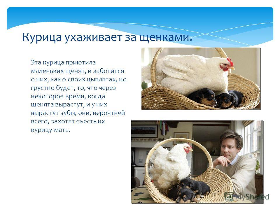 Эта курица приютила маленьких щенят, и заботится о них, как о своих цыплятах, но грустно будет, то, что через некоторое время, когда щенята вырастут, и у них вырастут зубы, они, вероятней всего, захотят съесть их курицу-мать. Курица ухаживает за щенк