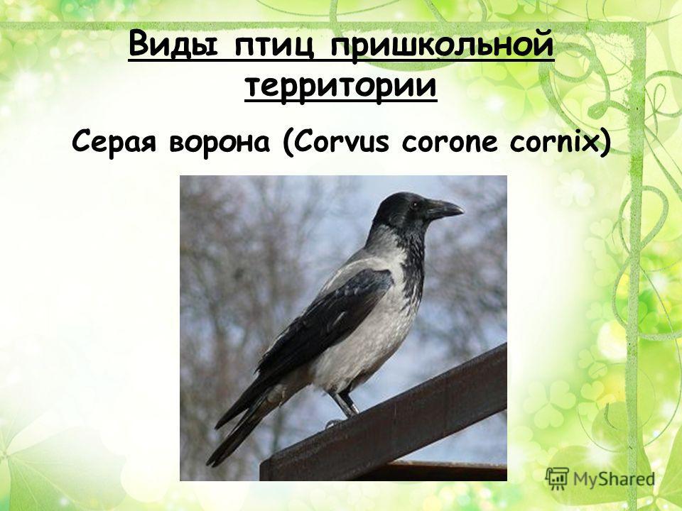 Виды птиц пришкольной территории Серая ворона (Corvus corone cornix)
