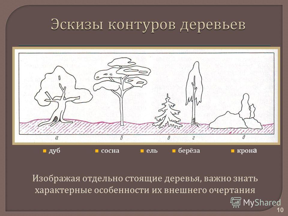 10 Изображая отдельно стоящие деревья, важно знать характерные особенности их внешнего очертания дуб сосна ель крон а берёза