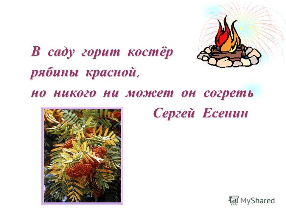 В саду горит костёр рябины красной, но никого ни может он согреть Сергей Есенин Сергей Есенин