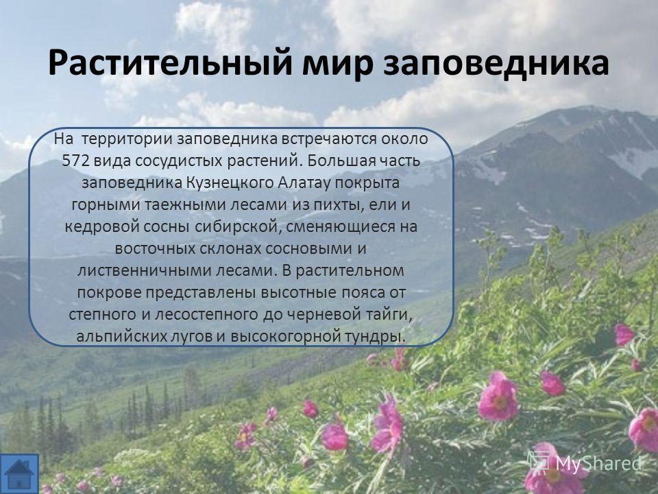 Растительный мир заповедника На территории заповедника встречаются около 572 вида сосудистых растений. Большая часть заповедника Кузнецкого Алатау покрыта горными таежными лесами из пихты, ели и кедровой сосны сибирской, сменяющиеся на восточных скло