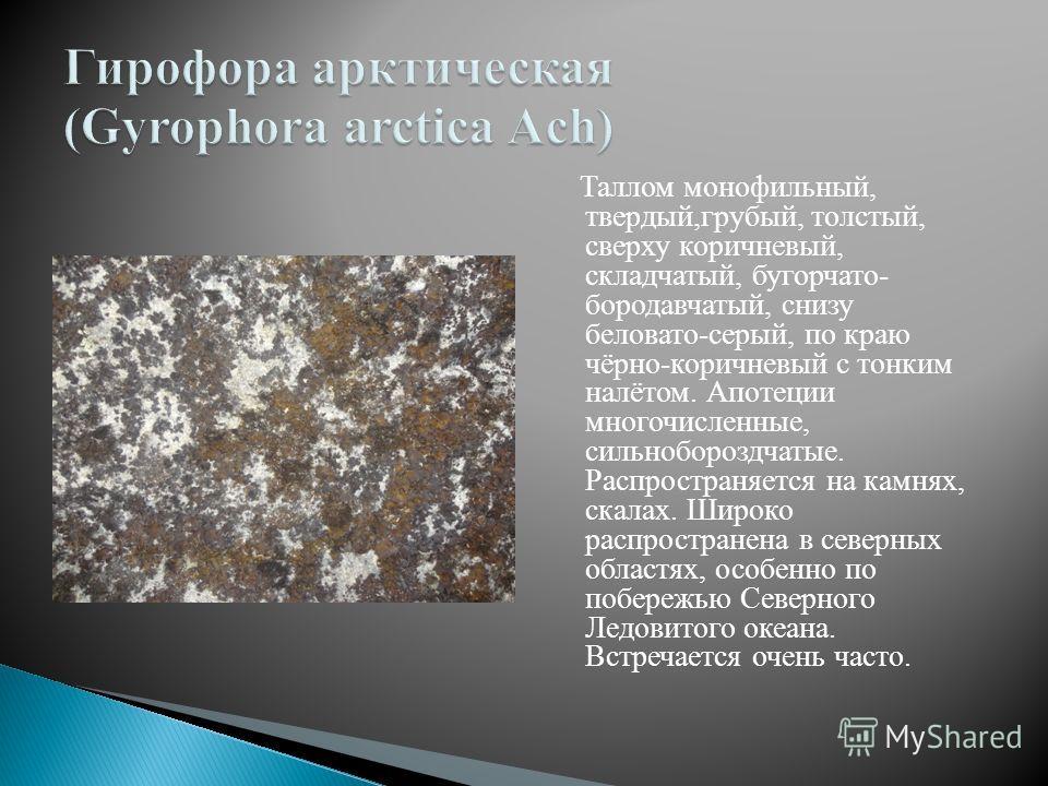 Таллом монофильный, твердый,грубый, толстый, сверху коричневый, складчатый, бугорчато- бородавчатый, снизу беловато-серый, по краю чёрно-коричневый с тонким налётом. Апотеции многочисленные, сильнобороздчатые. Распространяется на камнях, скалах. Широ