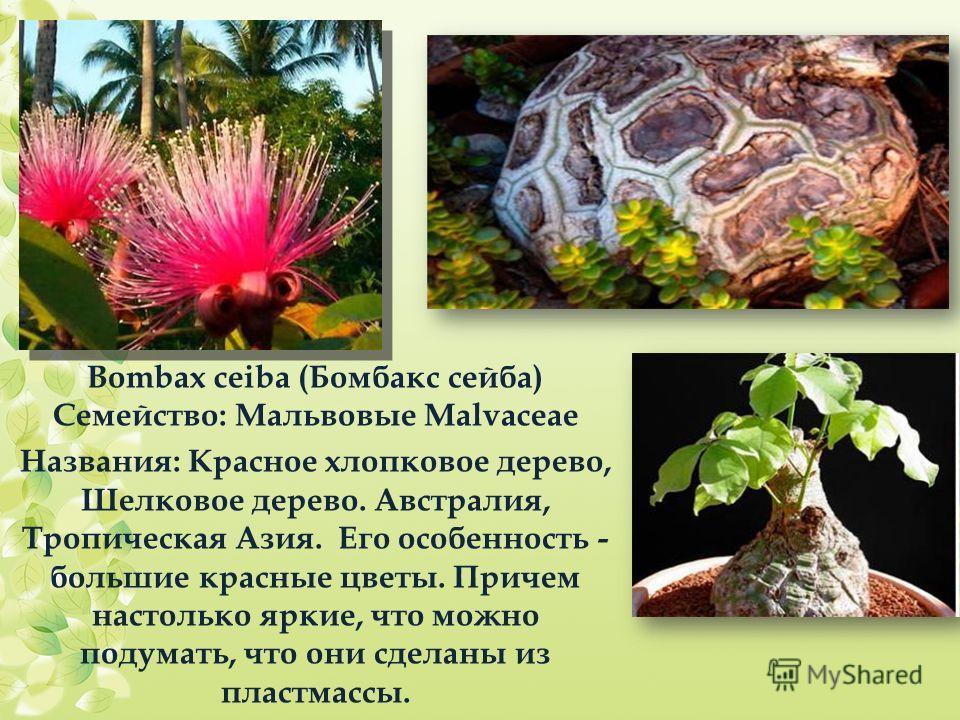 Bombax ceiba (Бомбакс сейба) Семейство: Мальвовые Malvaceae Названия: Красное хлопковое дерево, Шелковое дерево. Австралия, Тропическая Азия. Его особенность - большие красные цветы. Причем настолько яркие, что можно подумать, что они сделаны из плас
