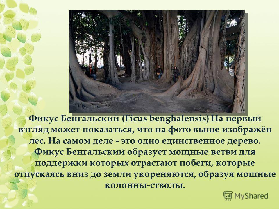 Фикус Бенгальский (Ficus benghalensis) На первый взгляд может показаться, что на фото выше изображён лес. На самом деле - это одно единственное дерево. Фикус Бенгальский образует мощные ветви для поддержки которых отрастают побеги, которые отпускаясь