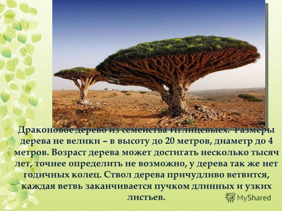 Драконовое дерево из семейства Иглицевыех. Размеры дерева не велики – в высоту до 20 метров, диаметр до 4 метров. Возраст дерева может достигать несколько тысяч лет, точнее определить не возможно, у дерева так же нет годичных колец. Ствол дерева прич