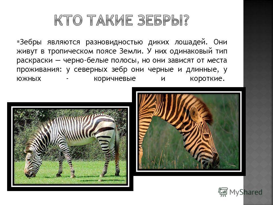 Зебры являются разновидностью диких лошадей. Они живут в тропическом поясе Земли. У них одинаковый тип раскраски черно-белые полосы, но они зависят от места проживания: у северных зебр они черные и длинные, у южных - коричневые и короткие.