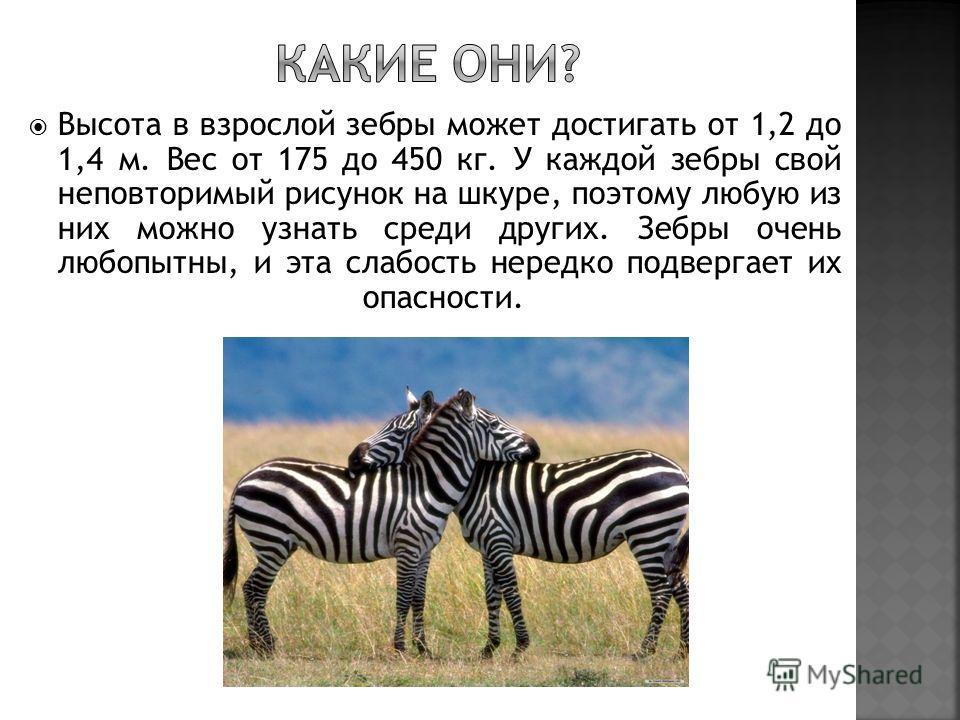Высота в взрослой зебры может достигать от 1,2 до 1,4 м. Вес от 175 до 450 кг. У каждой зебры свой неповторимый рисунок на шкуре, поэтому любую из них можно узнать среди других. Зебры очень любопытны, и эта слабость нередко подвергает их опасности.