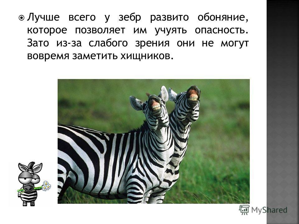 Лучше всего у зебр развито обоняние, которое позволяет им учуять опасность. Зато из-за слабого зрения они не могут вовремя заметить хищников.