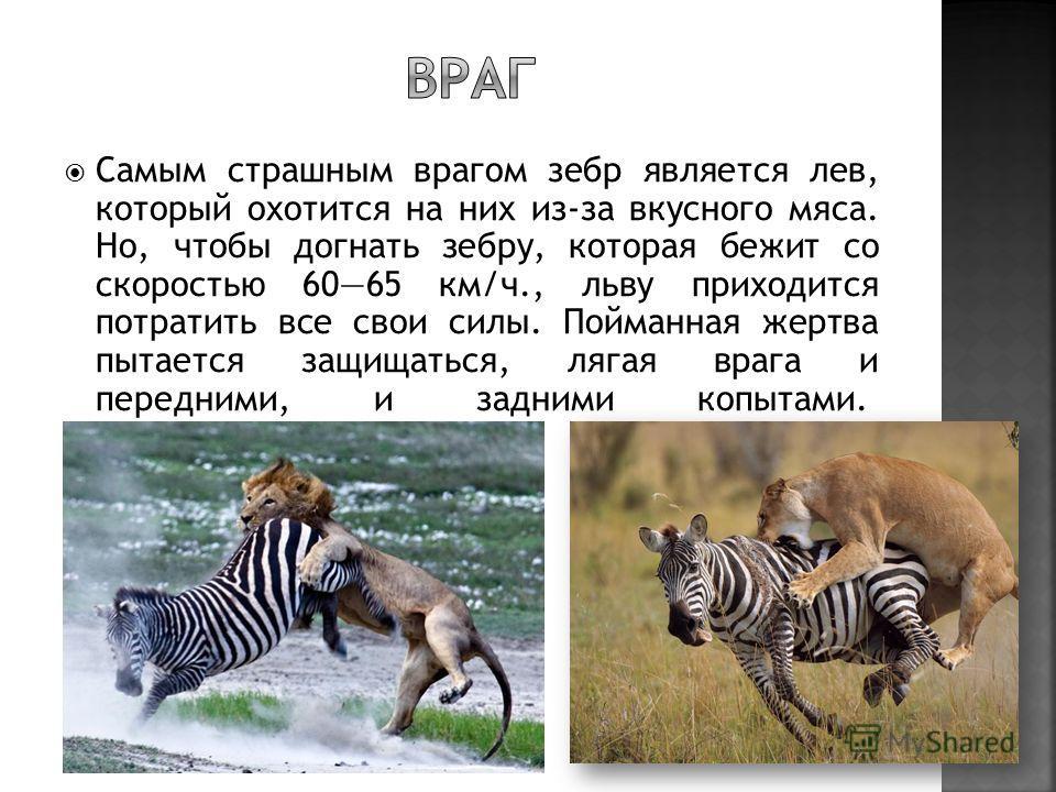 Самым страшным врагом зебр является лев, который охотится на них из-за вкусного мяса. Но, чтобы догнать зебру, которая бежит со скоростью 6065 км/ч., льву приходится потратить все свои силы. Пойманная жертва пытается защищаться, лягая врага и передни