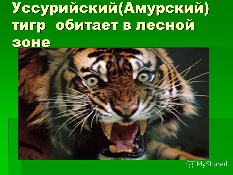 Уссурийский(Амурский) тигр обитает в лесной зоне