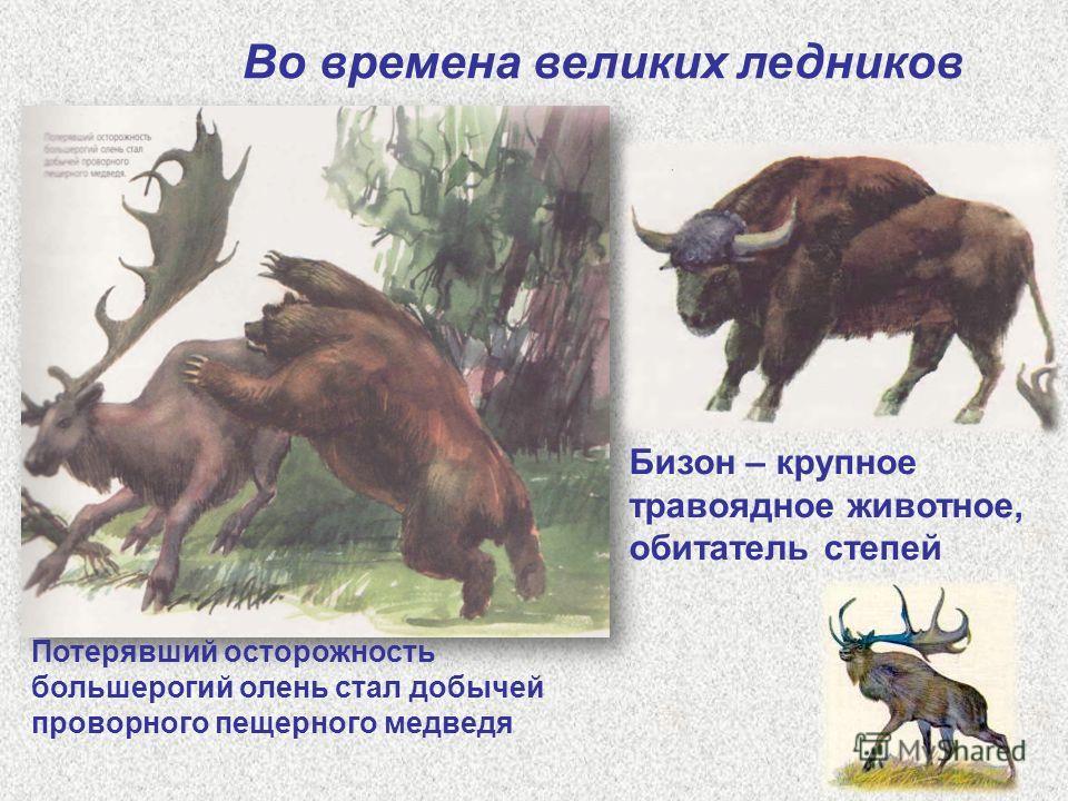 Во времена великих ледников Бизон – крупное травоядное животное, обитатель степей Потерявший осторожность большерогий олень стал добычей проворного пещерного медведя